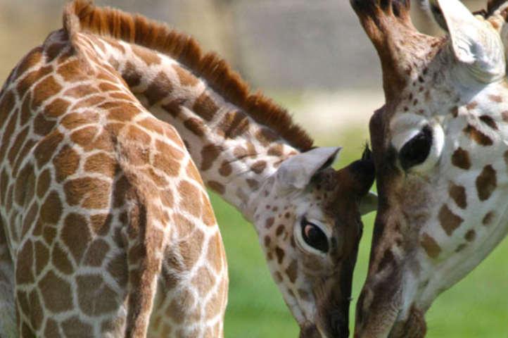 longleat giraffes